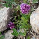 Trifolium parryi