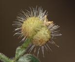 Galium hypotrichium ssp. inyoense