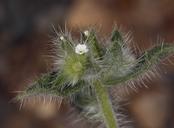 Plagiobothrys jonesii