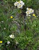 Anemone narcissiflora var. zephyra