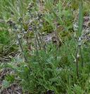 Artemisia scopulorum