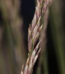 Poa glauca ssp. rupicola
