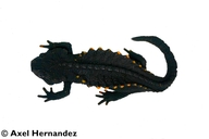 Mountain Spiny Newt
