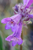 Penstemon heterodoxus