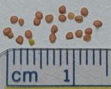 Cardamine pensylvanica