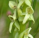 Platanthera huronensis