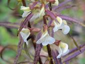 Pedicularis racemosa ssp. alba