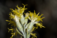 Lepidospartum latisquamum