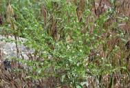 Lappula occidentalis var. occidentalis