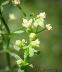 Galium angustifolium ssp. jacinticum