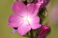Sidalcea oregana ssp. valida;