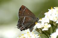 Callophrys spinetorum