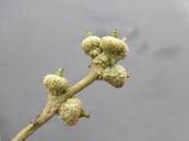 Quercus virginiana