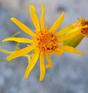 Senecio flaccidus var. monoense
