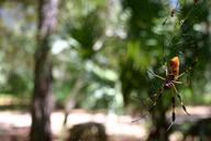 Nephila clavipes