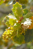 Quercus turbinella