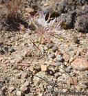 Allium lacunosum var. davisiae