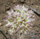 Allium howellii var. clokeyi