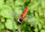 Scarlet Marsh Hawk