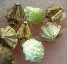 Parthenium hysterophorus