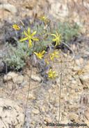 Bloomeria crocea var. montana