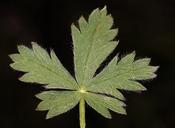 Potentilla glaucophylla var. glaucophylla