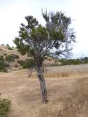 Adenostoma fasciculatum var. fasciculatum