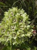 Asclepias viridis