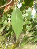 Eucalyptus infera