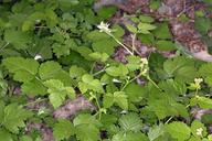 Rubus glaucifolius