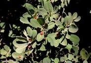 Frangula californica ssp. crassifolia