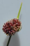 Allium vineale ssp. vineale