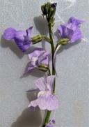 Nuttallanthus canadensis