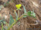 Camissoniopsis confusa