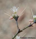 Acanthoscyphus parishii var. cienegensis