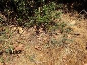 Origanum vulgare ssp. hirtum