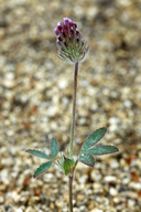 Trifolium albopurpureum