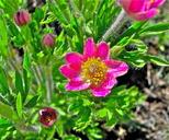 Anemone multifida var. tetonensis