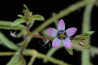 Navarretia linearifolia