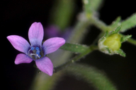 Navarretia linearifolia ssp. linearifolia