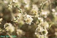 Ambrosia salsola var. pentalepis
