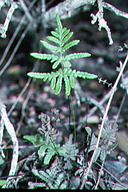 Pentagramma triangularis ssp. viscosa