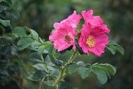 Rosa rugosa