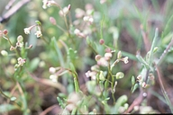 Hutchinsia procumbens