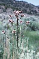 Thelypodium integrifolium ssp. complanatum