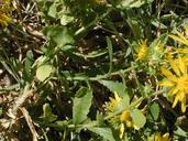 Grindelia squarrosa var. serrulata