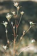 Eriastrum brandegeeae