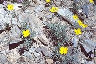Eschscholzia minutiflora ssp. covillei