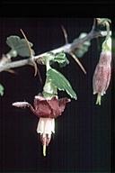 Ribes roezlii var. amictum