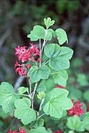 Ribes sanguineum var. sanguineum